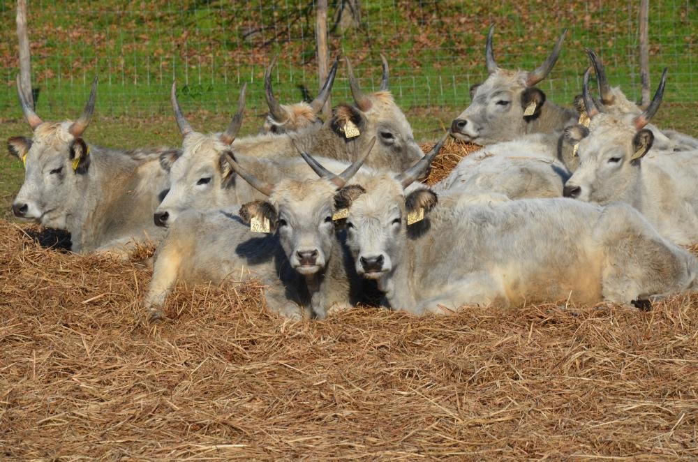 Szürkemarhák legelnek a Gólyavárnál